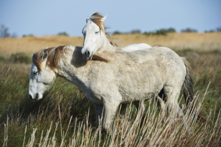 Two young white horses