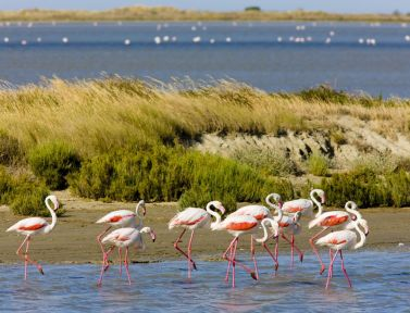 Provence-Camargue-Flamingoes